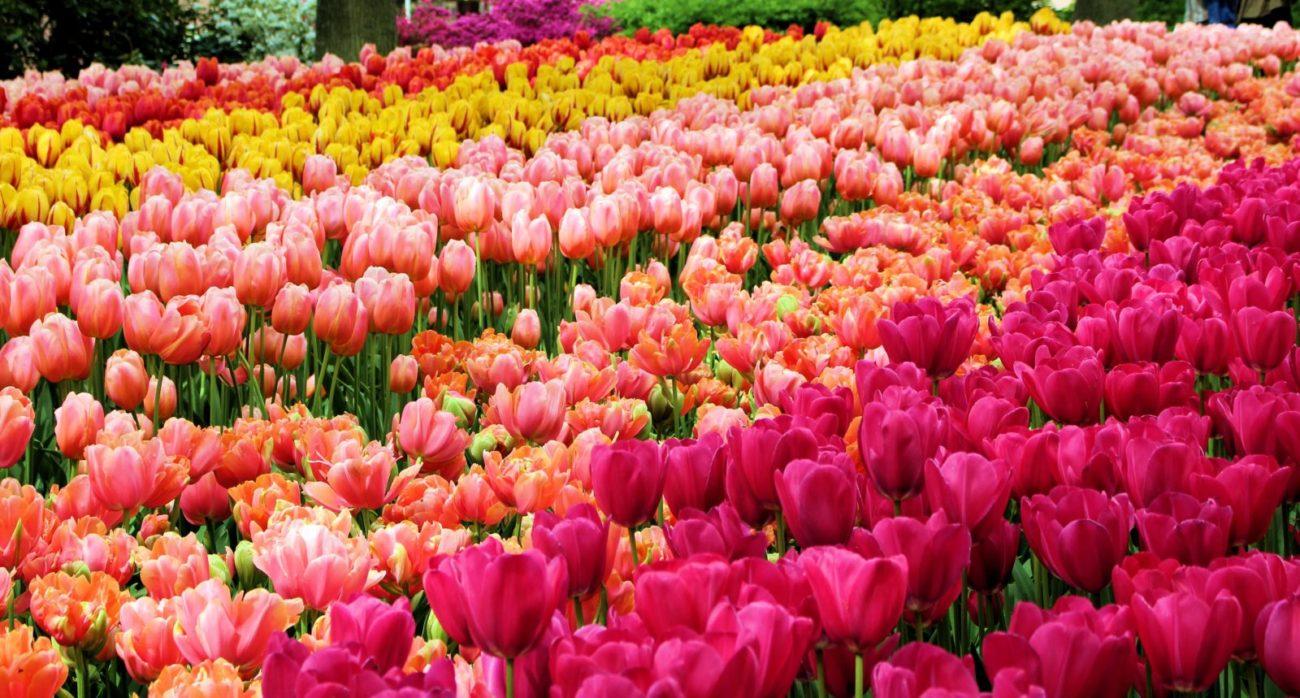 6 Reasons to visit the Tulip Garden of Keukenhof this 2019